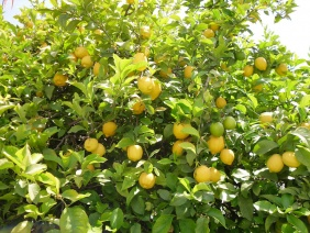 Gastronomic Tour Sorrento - Lemon